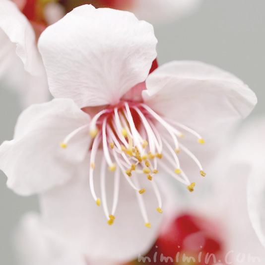 白い梅の花の写真 花言葉 誕生花の画像