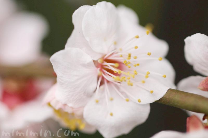 白梅の写真&花言葉の画像