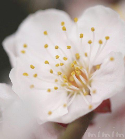梅の花・白梅(花の写真&花言葉)