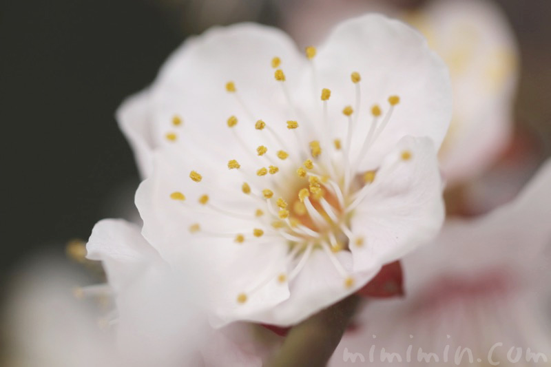 白梅の花の写真&花言葉