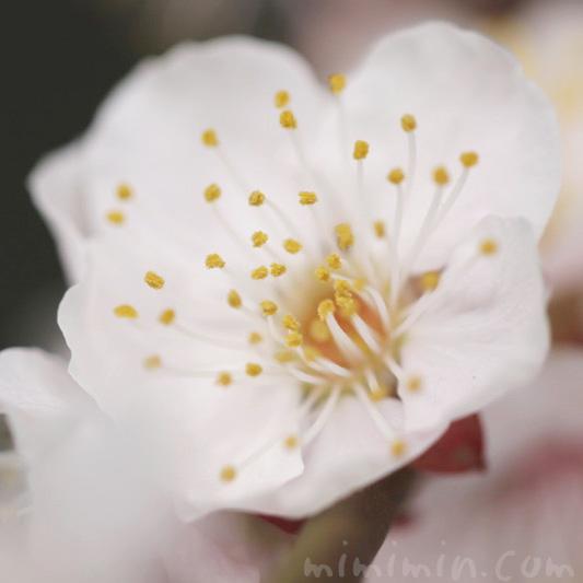 白い梅の花の写真 花言葉の画像