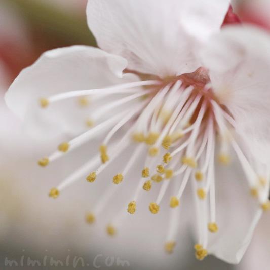 白い梅の写真 花言葉