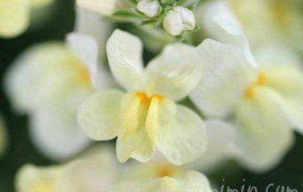 リナリアの花