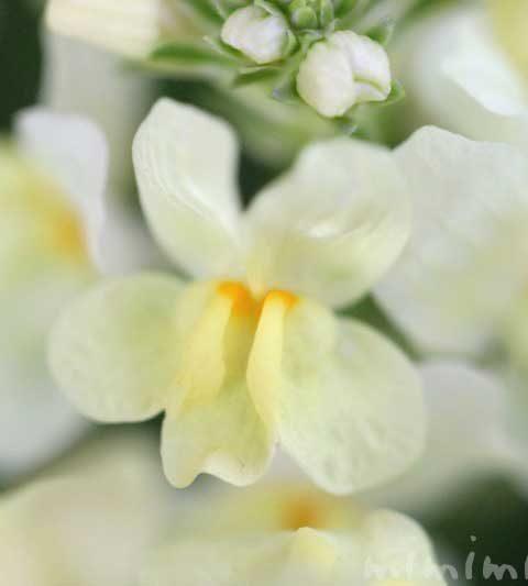 リナリア(姫金魚草・ヒメキンギョソウ)の花の写真・花言葉