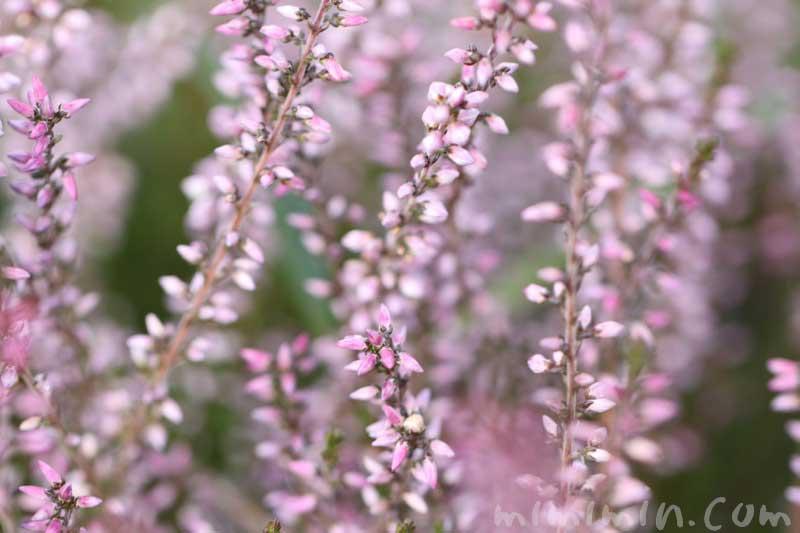 カルーナの花(薄いピンク)の写真