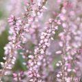 カルーナ(薄いピンク)の画像