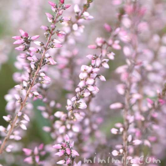 カルーナの花(ピンク)