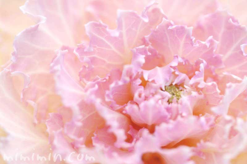 ピンクの葉牡丹の画像