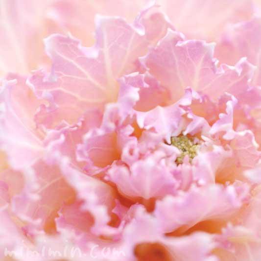 ハボタン(ピンク)の画像