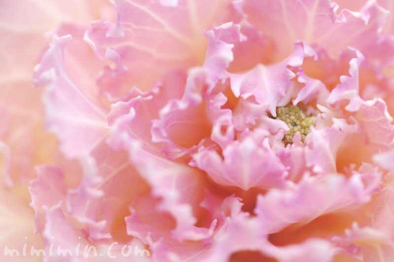 ピンクの葉牡丹