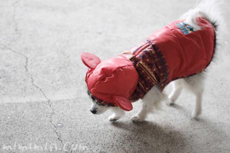防寒具をきたチワワの写真