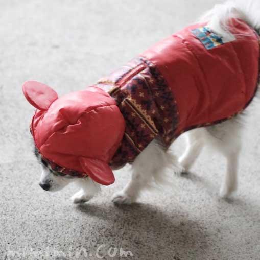 ミッキーのフード付きコートを着たチワワの画像