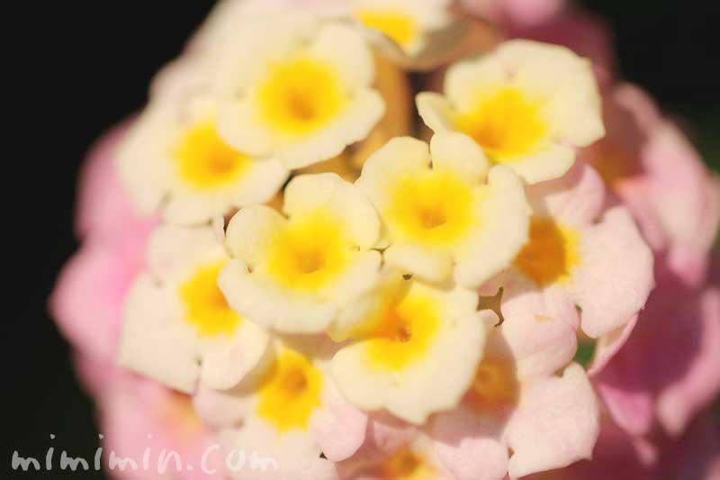 シチヘンゲの花(ピンク×黄色)