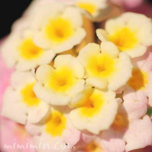 ランタナ(ピンク×黄色)