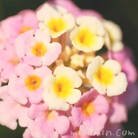 シチヘンゲ(ピンク×黄色)
