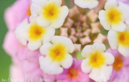 ランタナの写真・花言葉の画像