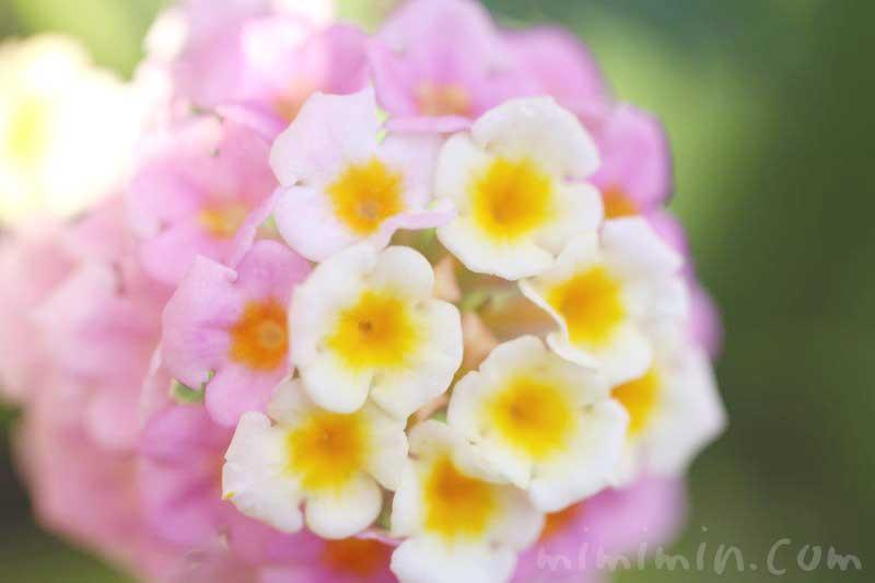 ランタナの写真と花言葉