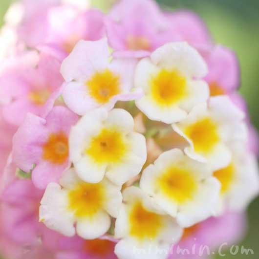 ランタナの花の写真と花言葉