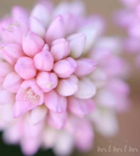 ポリゴナム(ヒメツルソバ・姫蔓蕎麦)の花言葉・誕生花