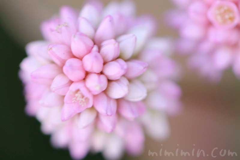 ポリゴナム(ヒメツルソバ・姫蔓蕎麦)花言葉