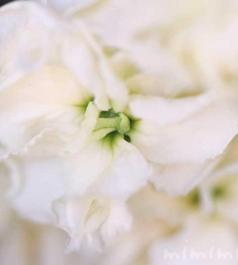 ストックの花の写真・色別の花言葉・名前の由来