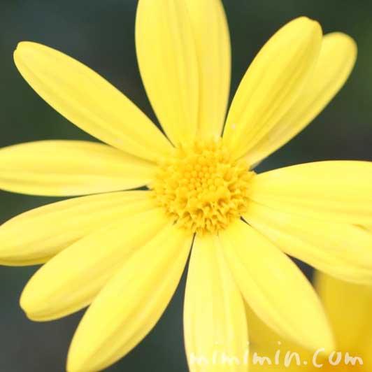 ユリオプスデージーの写真 花言葉