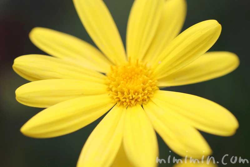 ユリオプスデージーの花の写真 花言葉の画像