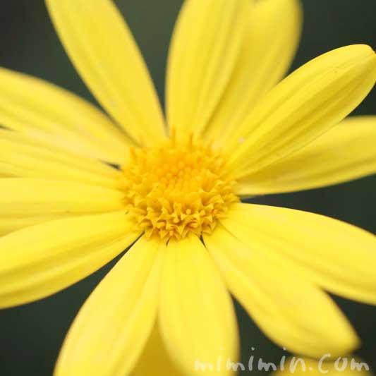 ユリオプスデージーの写真&花言葉の画像