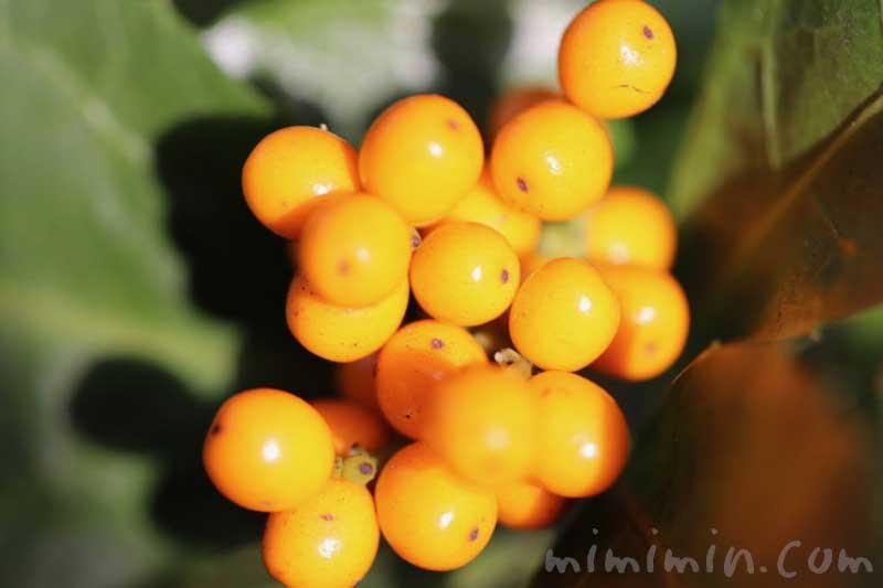 黄実の千両の写真と花言葉の画像