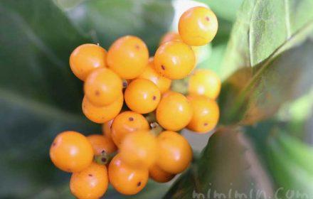 キミノセンリョウの写真と花言葉の画像