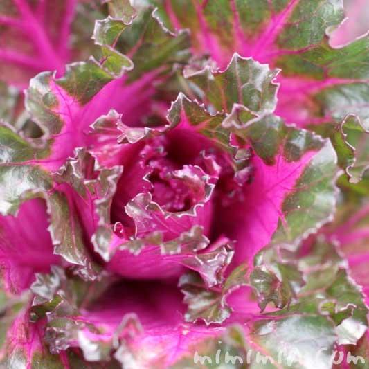 葉牡丹の花言葉・名前の由来
