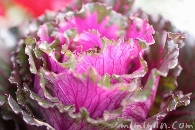 ハボタンの花言葉・名前の由来・誕生花の画像