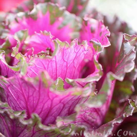 ハボタンの花言葉・誕生花の写真