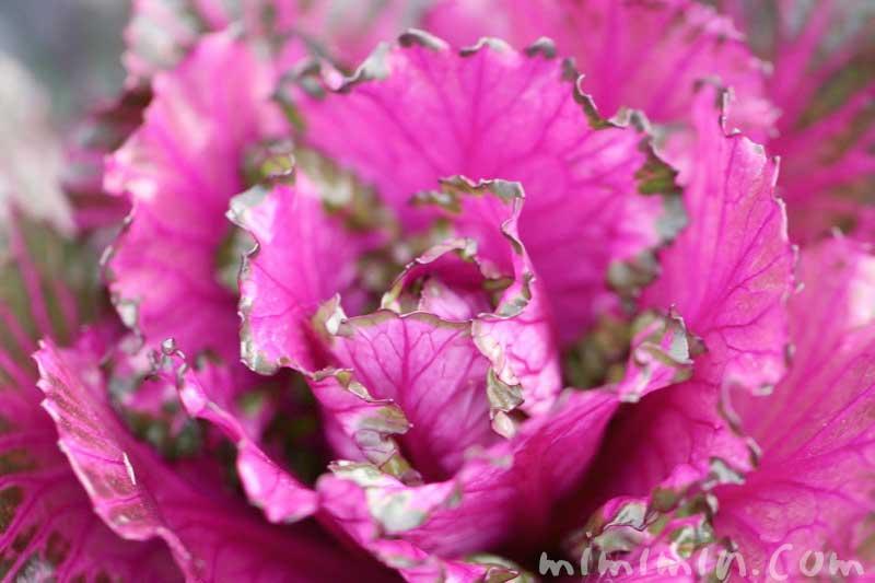 葉牡丹の写真と花言葉と名前の由来・誕生花