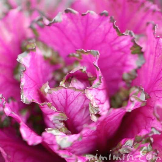 ハボタンの花言葉・名前の由来の写真
