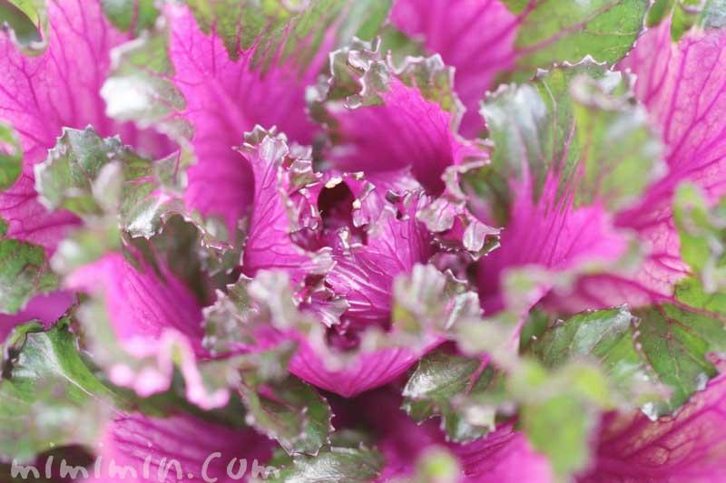 ハボタンの写真と花言葉・名前の由来・誕生花