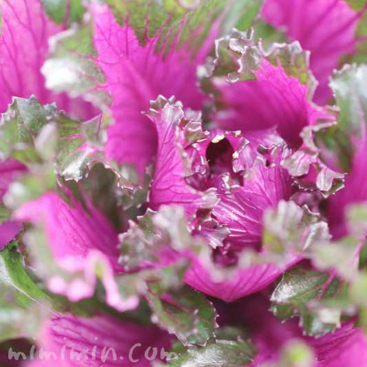 葉牡丹の花言葉・誕生花