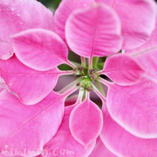 ピンクのポインセチアの花言葉 誕生花 毒性
