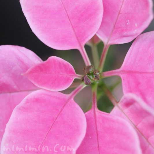 ピンクのポインセチアの花言葉と誕生花と毒性の画像