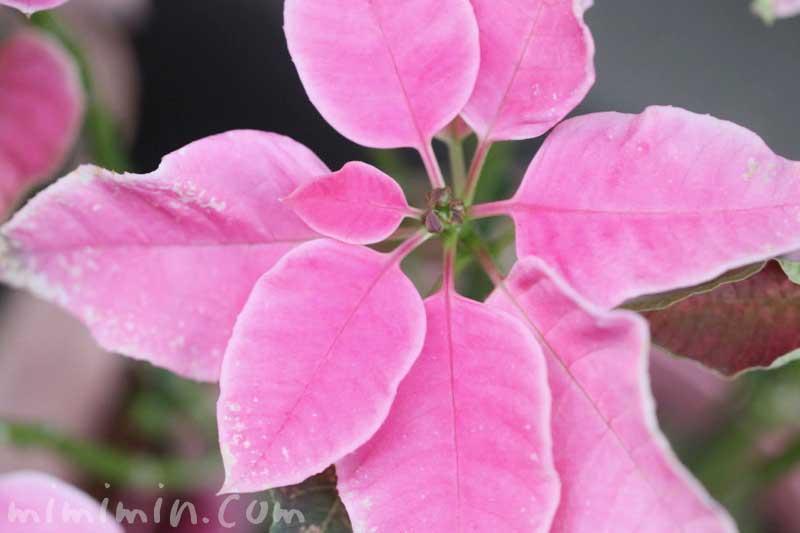 ピンクのポインセチアの花言葉と誕生花