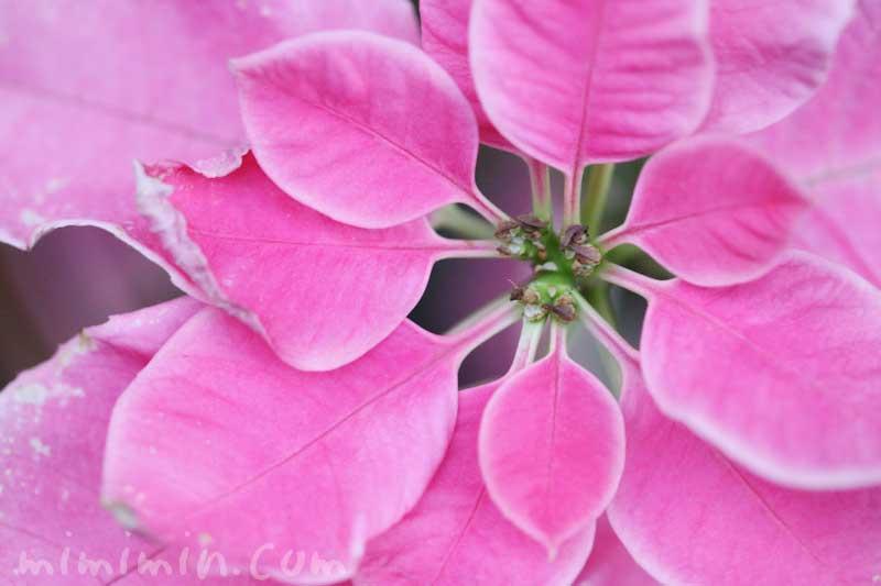 ポインセチアの花言葉・誕生花の画像