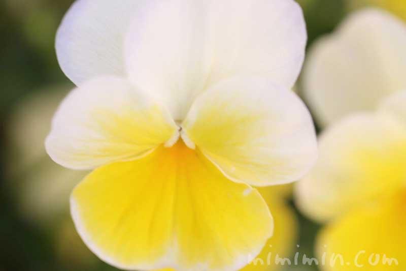 パンジーの花言葉・名前の由来・黄色のパンジーの花の写真の画像