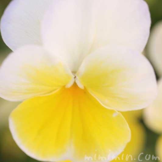 パンジーの花言葉・名前の由来・黄色のパンジーの写真の画像
