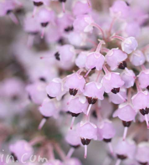 ジャノメエリカ(蛇の目エリカ)の花の写真・花言葉