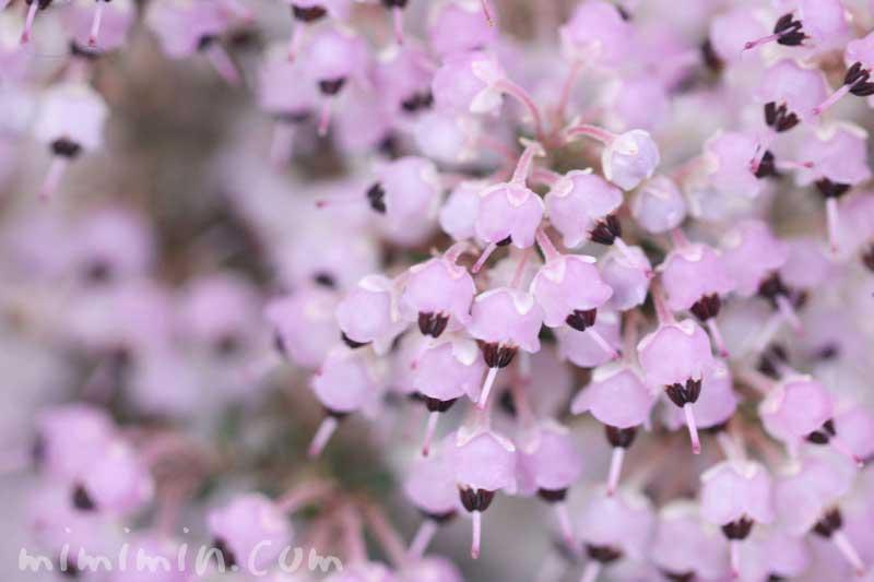 ジャノメエリカの花の写真・花言葉の画像