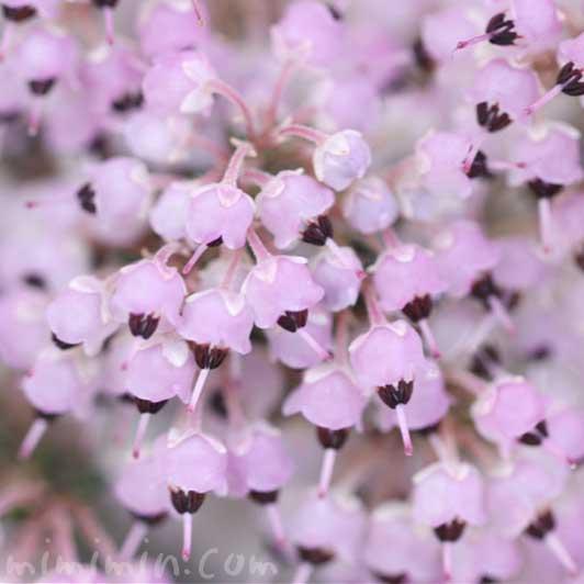ジャノメエリカの写真・花言葉の画像