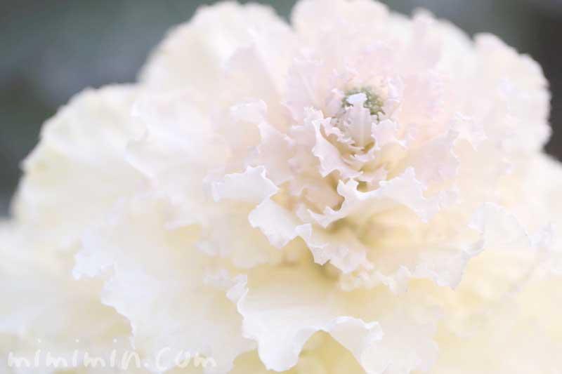 白い葉牡丹の写真と花言葉と誕生花