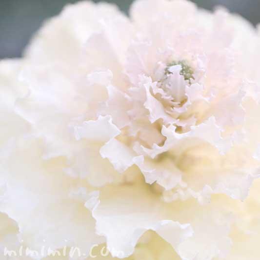 白いハボタンの写真 花言葉