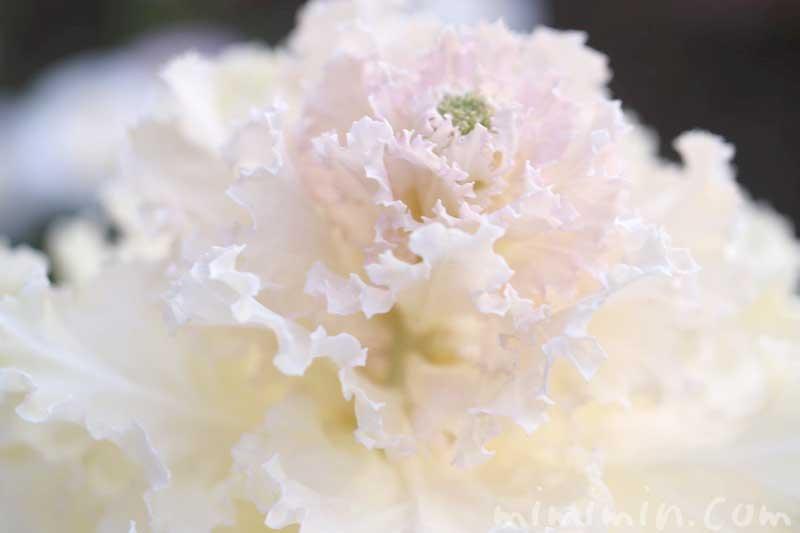 白いハボタンの写真と花言葉の画像