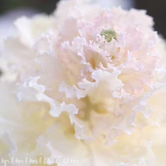 白い葉牡丹の写真 花言葉